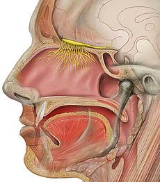 230px-Head_olfactory_nerve